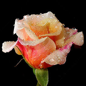 Bella rosa by Gérard CHATENET - Flowers Single Flower