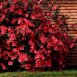 Azalea Bush by Noel Hankamer - Uncategorized All Uncategorized ( red, rhododendron, azalea, azalea rhododendron red flowers bloom ericaceae spring garden flower, bloom, flowers, garden, spring )
