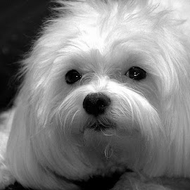 by Harold Stoler - Animals - Dogs Portraits ( dogs, black and white, portraits, animal )