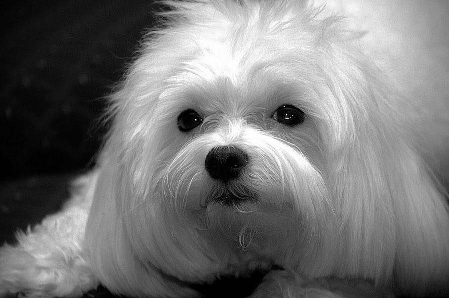 by Harold Stoler - Animals - Dogs Portraits ( dogs, black and white, portraits, animal,  )