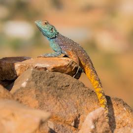 blue headed agama by Eleanor Hattingh - Animals Reptiles ( lizard, blue, south africa, rock, agama )