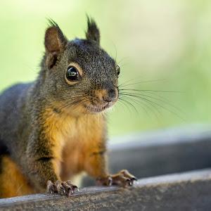 IMGL7793 edited,squirrel,wild,nature,rodent,animal.jpg