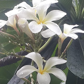 Jasmine by Khalid Farooq - Novices Only Flowers & Plants ( jasmine, green, white, summer, flower )