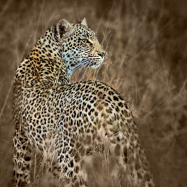 Leopard Looking Behind by Nayyer Reza - Animals Lions, Tigers & Big Cats ( kruger national park, jungle, nayyer, leopard, animal, nayyer reza, reza )