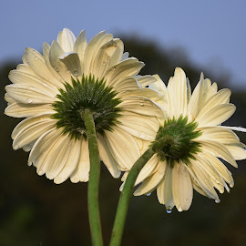 A pair of White Gerberas....!!! by Souvik SenGupta - Nature Up Close Gardens & Produce