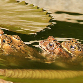 Let's line up the neat by Donny Irawan - Animals Amphibians ( frog, lined, pond )