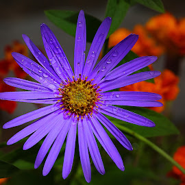 Aster sur fond de fleurs rouges by Gérard CHATENET - Flowers Single Flower