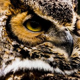 Owl by Greg Bennett - Digital Art Animals ( bird, digital art, owl, digital wedding photography, digital painting, oil painting, tree house wildlife wildlife center )