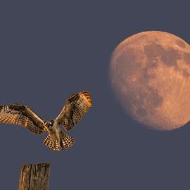 Osprey Moonrise by Mike Parker - Digital Art Animals