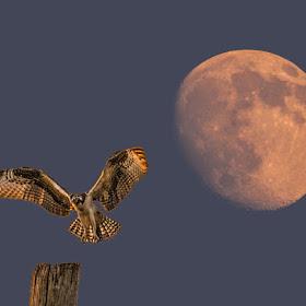 Cape Charles Osprey Moonrise 8-3-14 Horiz2.jpg