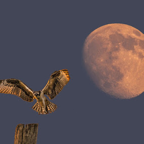 Osprey Moonrise by Mike Parker - Digital Art Animals (  )