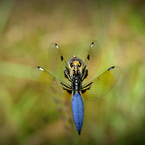 flying dragon by Parvesh Rana - Animals Insects & Spiders