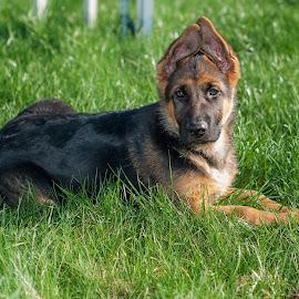 Torry by Vladimir Gitkov - Animals - Dogs Portraits ( shepherd, puppy, dog, german shepherd, friend )