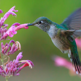 by Brandon Downing - Animals Birds ( broad tailed hummingbird )