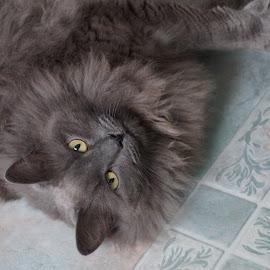 Gray Kitty by Lynn Andrasko - Animals - Cats Portraits