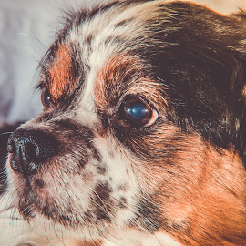 by Dolcos Valeriu - Animals - Dogs Portraits