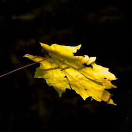 Autumn I by Campbell McCubbin - Nature Up Close Leaves & Grasses ( tree, autumn, fall, leaf, leaves )