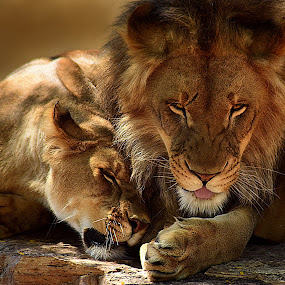 Lion Love by Shawn Thomas - Animals Lions, Tigers & Big Cats ( pride, predator, lion, cat, carnivore, mane, wildlife, king, large,  )