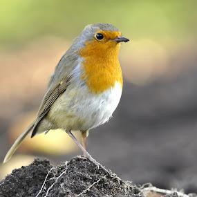 Robin by Dalia Račkauskaitė - Animals Birds ( bird, erithacus rubecula, nature, european robin )
