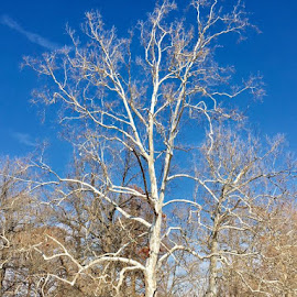 White Tree Blue Sky by Lori Fix - Landscapes Forests
