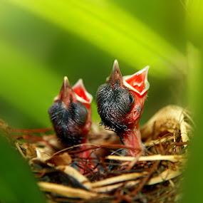 Hungry Chicks by Alit  Apriyana - Animals Birds