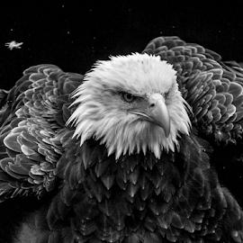 Ruffled feathers by Garry Chisholm - Black & White Animals ( bird, nature, garrychisholm, prey, raptor, baldeagle )