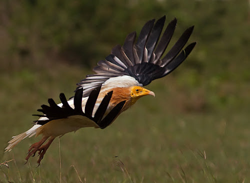 Vulture by Jineesh Mallishery - Animals Birds ( bird, vulture, jineesh, wildlife, raptor )