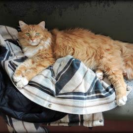 Cozy on a coat. by Carolyn Kernan - Animals - Cats Portraits