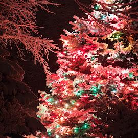 backyard tree by John Nelson - Public Holidays Christmas ( lights, cold, chrismas, fresh snow, pine )