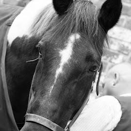 by Helen Andrews - Animals Horses