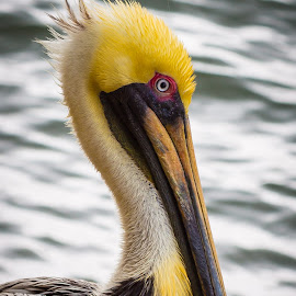 Florida Pelican by Jose Reyes - Animals Birds ( yellow, beach, birds, pelican, portrait, eyes, south florida )