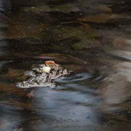 Wood Frogs Mating by Tig Tillinghast - Animals Amphibians
