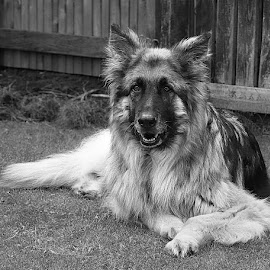 Resting in Grey by Chrissie Barrow - Black & White Animals ( face, resting, monochrome, black and white, pet, fur, ears, grey, legs, dog, mono, garden, animal )