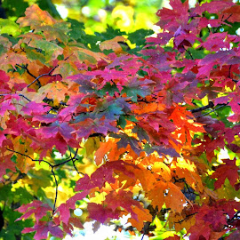 The Colors of Fall by Michael Smith - Nature Up Close Trees & Bushes ( maple tree, color, autumn, fall, leaves )