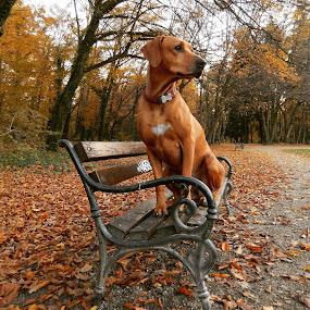 by Ivana Tilosanec - Animals - Dogs Portraits ( ridgeback, animals, sitting, dogs, park, bench, nature, autumn, pet, pets, dog portrait, dog, animal,  )