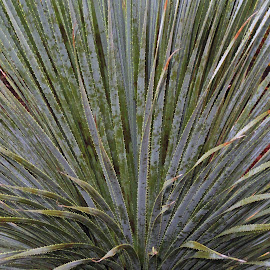Dana Point Swords  by Robert Meyers-Lussier - Nature Up Close Trees & Bushes ( plant, dana point, nature, california, bush, leaves )
