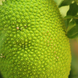 Bread Fruit by Ajith Iddya - Nature Up Close Gardens & Produce ( fruit, nature, bread fruit, nature close up, vegetable )