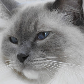 Ziggy by Di Mc - Animals - Cats Portraits ( ragdoll, kitten, cat, ziggy, hair, coat )