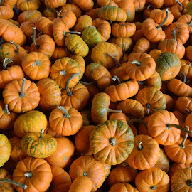 Pumpkins 8 by Keith Heinly - Food & Drink Fruits & Vegetables ( farm, pumpkin, georgia, jasper, burt's )