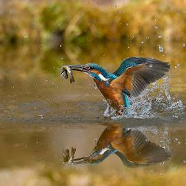 Kingfisher  by Albergamo Paolo - Animals Birds ( paolo albergamo, nature, oasi, martin  pescatore, birds )