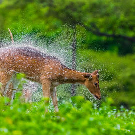 Shake it off!!!  by Ajith Padiyar - Animals Other Mammals ( spotted, tiger, monsoon, bandipur, greenery, reserve, wildlife, rain, deer, animal )