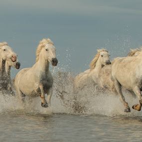 Wild white horses in the marshes by Helen Matten - Animals Horses ( gallop, galloping, water, wild, horses, marshes, camargue, guardians, white, french, mares, of, south, france )