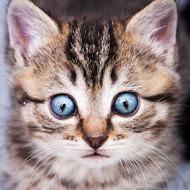 Gracie by Eric Christensen - Animals - Cats Kittens ( kitten, big eyes, blue, rescue, tabby )