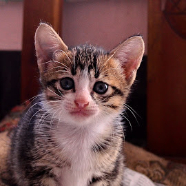 Kitten by Hans Dihan - Animals - Cats Kittens ( benign, kitten, funny, agile, cute )