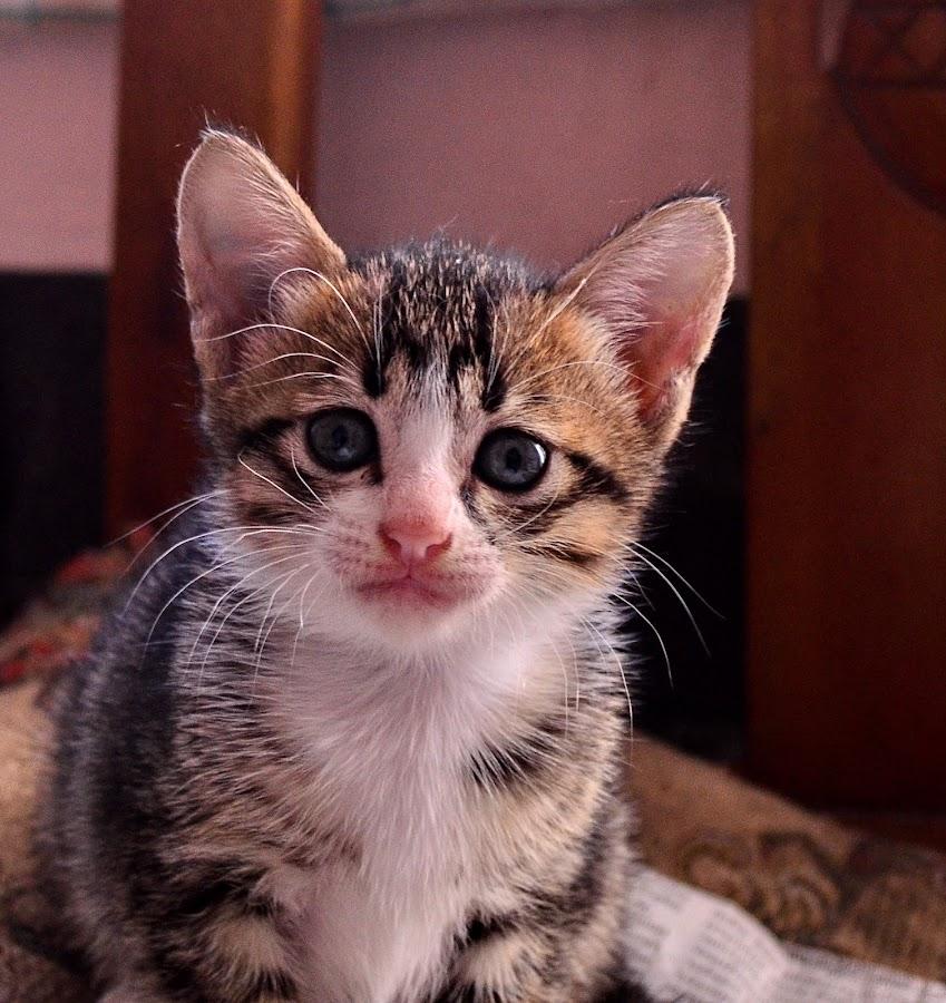 Kitten by Hans Dihan - Animals - Cats Kittens ( benign, kitten, funny, agile, cute,  )