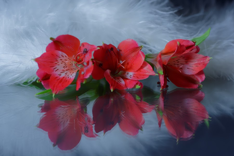 Red in feather by Michaela Firešová - Artistic Objects Still Life ( red, still life, white, feathers, flowers,  )