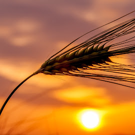 Barley Sunrise by Lizzy MacGregor Crongeyer - Novices Only Flowers & Plants ( clouds, orange, barley, sky, dawn, silhouette, summer, sunrise, cereal, crop )