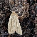 Henry's Marsh Moth
