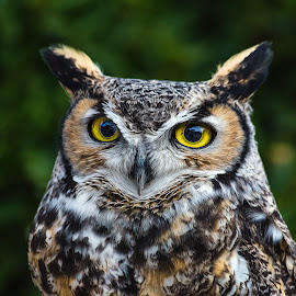 Mister Wilson  Great Horned Owl by Dave Lipchen - Animals Birds ( mister wilson  great horned owl, great horned owl )
