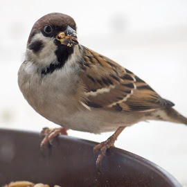 Eating dinner by Tomasz B. - Uncategorized All Uncategorized ( dinner, bird, food, eating, eat, birds, sparrow )